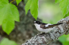Uccello pezzato del pigliamosche (hypoleuca di Ficedula) Immagine Stock