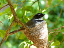 Uccello piacevole che si siede in sue proprie uova proteggenti del nido Fotografia Stock