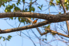 Uccello (piccolo Minivet) su un albero Fotografia Stock