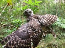 Uccello potente del gufo Immagini Stock