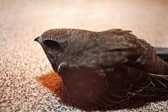 Uccello rapido sopra in balcone sulla superficie del pavimento fotografia stock libera da diritti