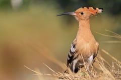 Uccello raro e bello con le piume variopinte Fotografia Stock