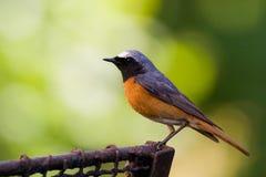 Uccello - redstart maschio fotografie stock libere da diritti