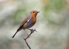 Uccello - Robin europeo Immagini Stock Libere da Diritti