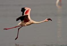 Uccello rosa del fenicottero Fotografia Stock