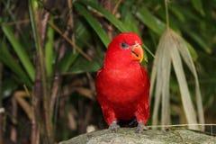 Uccello rosso Fotografia Stock Libera da Diritti