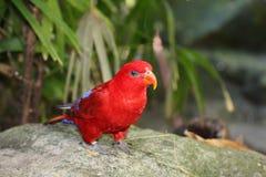 Uccello rosso Immagini Stock Libere da Diritti