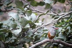 Uccello rosso del beek Fotografia Stock Libera da Diritti