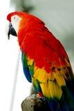 Uccello rosso del Macaw Fotografia Stock