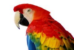 Uccello rosso del Macaw isolato fotografia stock