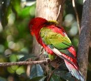 Uccello rosso del pappagallo Fotografia Stock Libera da Diritti