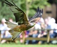 Uccello rosso dell'aquilone immagine stock