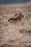 Uccello rosso dell'aquilone Immagine Stock Libera da Diritti