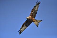 Uccello rosso dell'aquilone in aria fotografia stock
