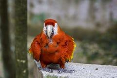 Uccello rosso dell'ara Immagine Stock