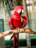 Uccello rosso dell'ara fotografie stock libere da diritti