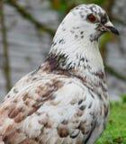 Uccello rosso dell'occhio fotografia stock