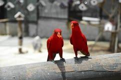 Uccello rosso di amore Fotografie Stock Libere da Diritti