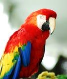Uccello rosso dorato del Macaw Fotografia Stock Libera da Diritti