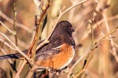 Uccello rosso nella natura selvaggia, occhio rosso macchiato dell'occhio del Towhee Fotografia Stock Libera da Diritti