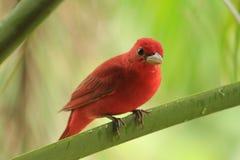 Uccello rosso sul ramo Fotografie Stock Libere da Diritti