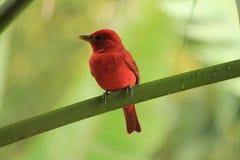 Uccello rosso sul ramo Fotografia Stock Libera da Diritti