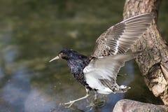 Uccello Ruff fra le pietre Fotografie Stock Libere da Diritti