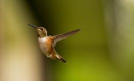 Uccello Rufous di ronzio Fotografie Stock Libere da Diritti