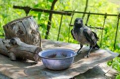 Uccello Russia di Raven Immagine Stock Libera da Diritti