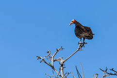 Uccello sconosciuto nella foresta pluviale di Amazon, Brasile Fotografie Stock Libere da Diritti
