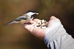 Uccello selvaggio che mangia dalla mano Fotografie Stock Libere da Diritti