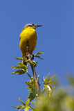 Uccello selvaggio che si siede su un ramo Flava del Motacilla Fotografia Stock Libera da Diritti