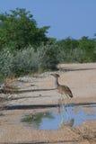 Uccello selvaggio del bustard di kori Immagini Stock Libere da Diritti