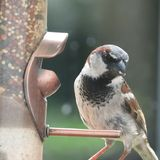 Uccello selvaggio del ciuffolotto messicano Immagini Stock