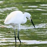 Uccello selvaggio dell'egretta che si alimenta nell'uso dello stagno di acqua per gli animali e Fotografia Stock Libera da Diritti