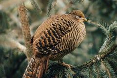 Uccello selvaggio della pernice Fotografie Stock Libere da Diritti