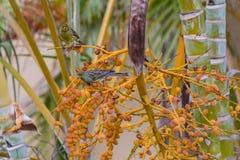 Uccello selvaggio di canaria del Serinus color giallo canarino atlantico che si appollaia sui rami delle bacche della palma in La immagini stock