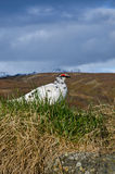 Uccello selvaggio, Islanda Fotografia Stock