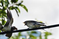 Uccello selvaggio - martlet & x28; Urbica del Delichon & x29; it& d'alimentazione x27; piccolo bambino di s con alimento Fotografia Stock Libera da Diritti