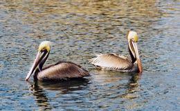 Uccello selvaggio San Diego Bay Animal Feathers del pellicano di Brown Fotografia Stock Libera da Diritti