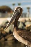 Uccello selvaggio San Diego Marina Animal Feathers del pellicano di Brown Fotografia Stock Libera da Diritti