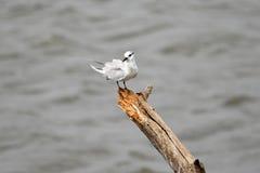 Uccello selvaggio Sri Lanka dell'Asia immagini stock