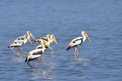 Uccello selvaggio Sri Lanka dell'Asia fotografia stock libera da diritti