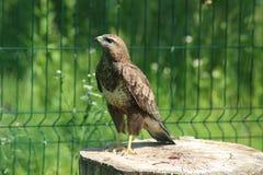 Uccello selvaggio in una gabbia Immagine Stock