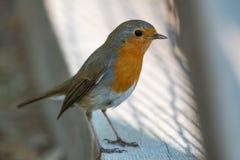 Uccello solo del pettirosso & x28; Rubecula& x29 del Erithacus; stando sul pavimento di legno nel parco fotografia stock libera da diritti