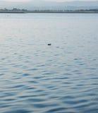 Uccello solo sul lago di sale di Pomorie, Bulgaria Fotografia Stock