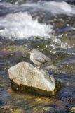 Uccello solo sulla roccia del fiume Immagini Stock