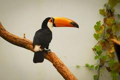 Uccello sorridente del tucano su un albero tropicale Fotografia Stock Libera da Diritti