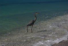 Uccello in spuma sulla spiaggia immagini stock