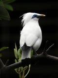 Uccello starling del Bali Fotografie Stock Libere da Diritti